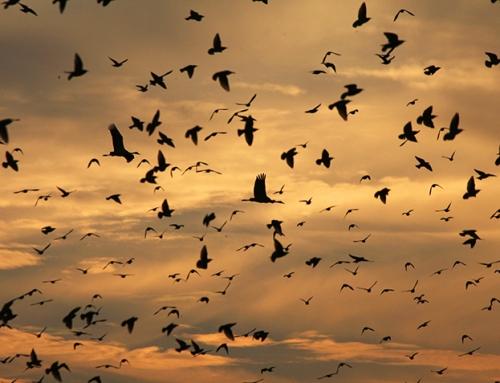 Comme un vol d'étourneaux au-dessus de la ville (FR, ES)